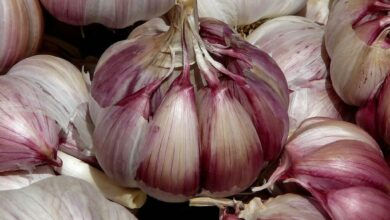 Photo of Garlic Irrigation: [Needs, Frequency and Procedure]