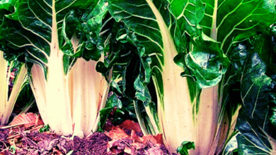 Photo of Chard Varieties: Which one should I grow in my Garden?