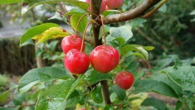 Photo of Acerola: [Cultivation, Irrigation, Care, Pests and Diseases]