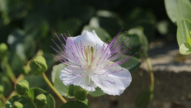 Photo of Prune Capers: [Importance, Time, Considerations and Steps]