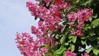 Photo of Jupiter Tree: [Cultivation, Irrigation, Care, Pests and Diseases]