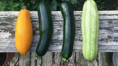 Photo of Zucchini Varieties: [Characteristics and Classification]