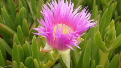 Photo of Carpobrotus: [Cultivation, Irrigation, Care, Pests and Diseases]