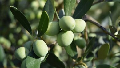 Photo of Olive Tree Diseases: [Characteristics, Types, Detection and Treatment]