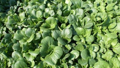Photo of Cai xin: [Cultivation, Irrigation, Care, Pests and Diseases]