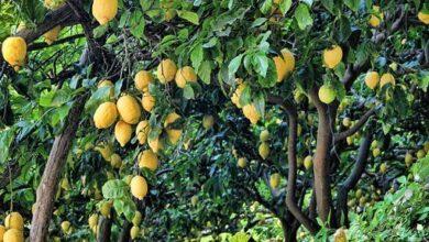 Photo of Lemon Tree Cuttings: [Grafting, Season, Rooting and Sowing]