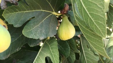 Photo of Sowing a Fig Tree: [Cultivation, Care, Irrigation, Substrate and Pests]