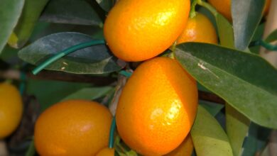 Photo of Prune Kumquats: [Importance, Time, Tools, Considerations and Steps]
