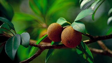 Photo of Medlar: [Cultivation, Irrigation, Care, Pests and Diseases]