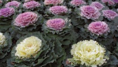 Photo of All about Ornamental Cabbages: Are they edible?