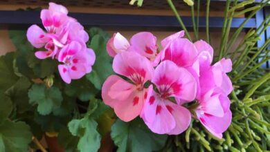 Photo of Geranium Pests and Diseases: [Detection, Causes and Solutions]