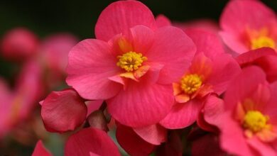 Photo of Prune Begonia: [Importance, Time, Tools, Considerations and Steps]