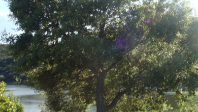 Photo of Prune an Holm Oak: [Importance, Time, Tools, Considerations and Steps]