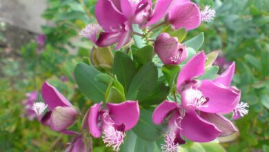 Photo of Polygala Myrtifolia: [Crop, Irrigation, Associations, Pests and Diseases]