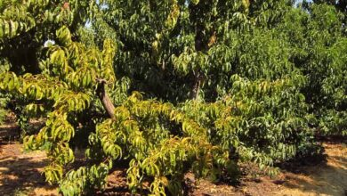 Photo of Chlorosis in Plants: [How to Detect, Combat and Control It]