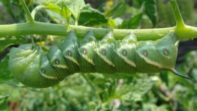 Photo of Tomato Caterpillar: [How to Identify and Fight It]