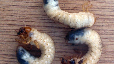 Photo of White Soil Worm: [Characteristics, Detection, Effects and Treatment]