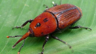 Photo of Weevil: [Characteristics, Detection, Effects and Treatment]