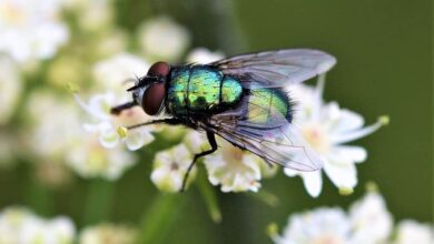 Photo of Cabbage Fly (Phorbia brassicae): [Characteristics, Detection, Effects and Treatment]