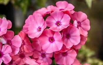 Photo of Transplant Geraniums: [Conditions, Tools and Steps to follow]