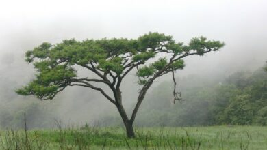 Photo of The Acacia Tree: [Characteristics, Sowing, Care, Irrigation and Substrate]