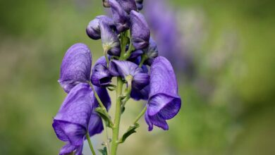 Photo of Aconite: [Cultivation, Irrigation, Care, Pests and Diseases]
