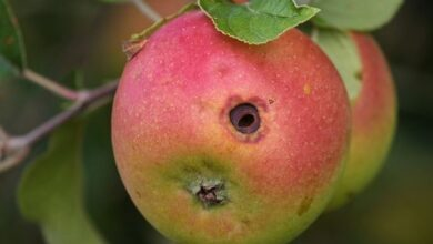 Photo of Apple Tree Pests: Complete Guide with Photos