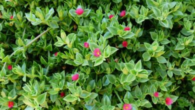 Photo of Aptenia: [Cultivation, Irrigation, Care, Pests and Diseases]