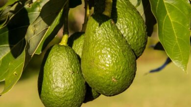 Photo of How to grow Avocado (Avocado or Palto): Complete Guide