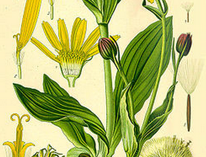 Photo of What is Arnica good for? Be amazed by the uses of this wonderful medicinal plant