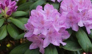 Photo of Azalea plant
