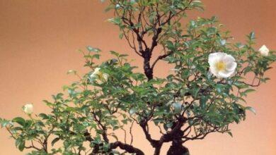 Photo of Rose bonsai