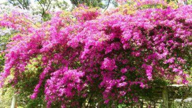 Photo of Bougainvillea