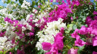 Photo of Bougainvillea Pests and Diseases: [Detection, Causes and Solutions]