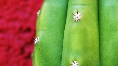 Photo of San Pedro Cactus: [Planting, Care, Substrate, Irrigation]