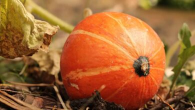 Photo of Pumpkin Pruning: [Dates and Ways to Do It]