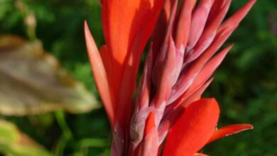 Photo of Canna Indica: [Sowing, Care, Irrigation, Substrate and Pests]
