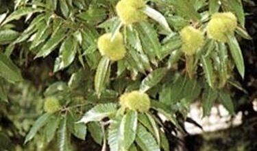 Photo of Chestnut – Castanea sativa