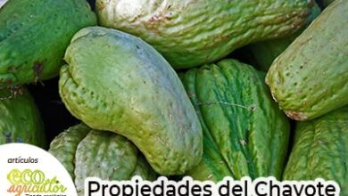 Photo of Chayote, a nutritious food that takes care of your health