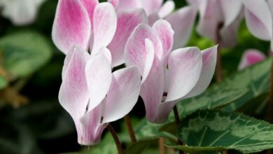 Photo of Cyclamen meaning