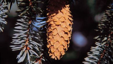 Photo of How to grow silver pine