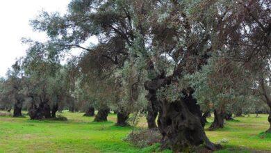 Photo of Olive grove fertilizer