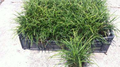 Photo of Convallaria japonica nana