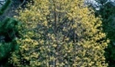 Photo of Dogwood – Cornus mas