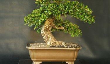 Photo of Cotoneaster bonsai