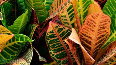 Photo of The Croton: [Sowing, Care, Substrate, Irrigation] – Complete Guide