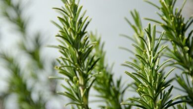 Photo of Rosemary: Most Important Pests and Diseases