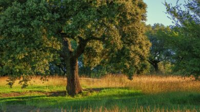 Photo of Holm oak: [Cultivation, Irrigation, Care, Pests and Diseases]
