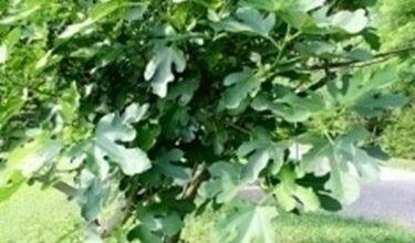 Photo of Ficus carica