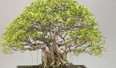 Photo of Ficus retusa